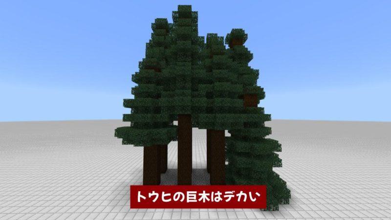 トウヒの巨木はデカい